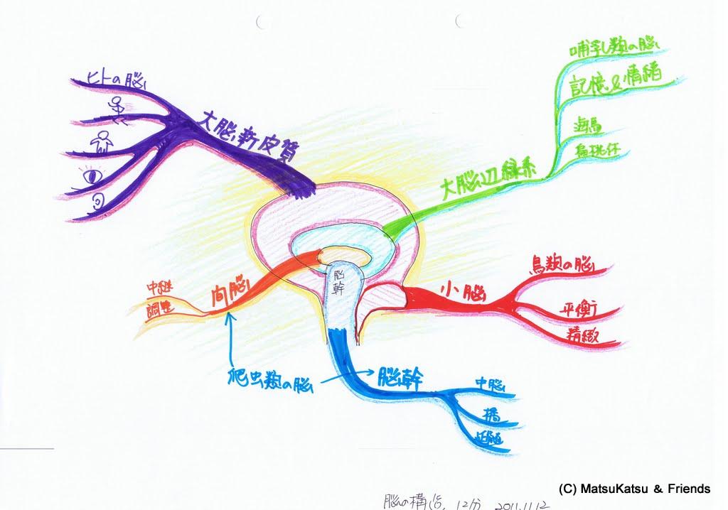 脳の構造(MMA前)